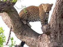 Leopard. Climbing up a tree Stock Image