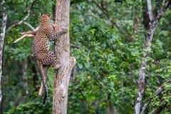 Leopard climbs tree along wit kill Royalty Free Stock Image
