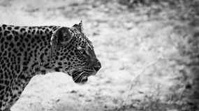Leopard. Close up of a leopard in black and white Royalty Free Stock Photos