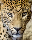 Leopard. This is a close-up of the leopard ( panther, Panthera pardus Stock Photos