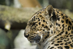 Leopard close up and personal Stock Photos