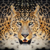 Leopard. Close-up wild leopard portrait on the dark background Royalty Free Stock Image