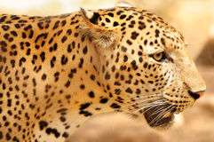 Leopard closeup Royalty Free Stock Photo