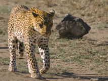 Leopard closeup Stock Photos
