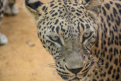 Leopard closeup Stock Photo