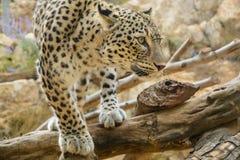 Leopard closeup Royalty Free Stock Photo