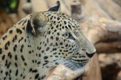 Leopard closeup Stock Image