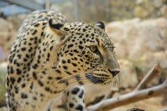 Leopard closeup Stock Photos
