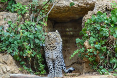 Leopard closeup Royalty Free Stock Photography