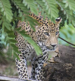 Leopard or Panther. Closeup of Beautiful Leopard (Panthera pardus) or Panther  appearing from bushes Royalty Free Stock Photos