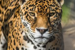Leopard, closeup, has beautiful spotted fur. Leopard, Panthera Pardus, closeup, has beautiful spotted fur. Wild animal, cat, tough and fast and sleek royalty free stock photography