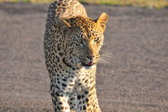Leopard closeup Royalty Free Stock Image