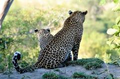 Leopard closeup Stock Photography