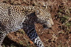Leopard closeup. Photo taken during the safari in Serengetti National park. Tanzania Royalty Free Stock Photography