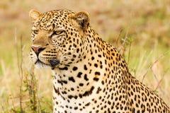 Leopard closeup. Picture taken in the wild in Kenya Masai Mara Stock Photography