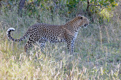 Leopard closeup Royalty Free Stock Images