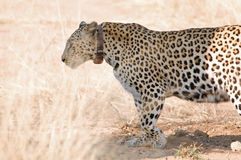 Leopard with a collar Stock Image