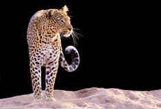 Leopard. Color image of a leopard standing in the sand Stock Images