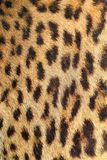 Leopard colorful fur real texture Royalty Free Stock Image
