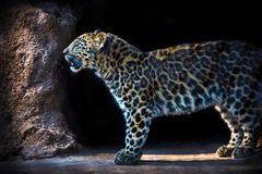 Leopard coming out of his cave stock photo