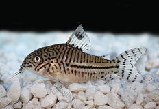 Leopard Cory Corydoras trilineatus catfish Royalty Free Stock Photography