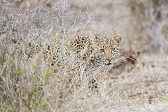 A Leopard creeping alongside bush Royalty Free Stock Photos
