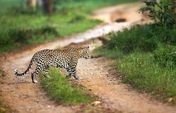 Leopard crossing. Leopard in a forest taken during a safari in an Indian sanctuary, walking across the road royalty free stock photo