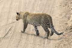 Leopard crossing a road Royalty Free Stock Photo
