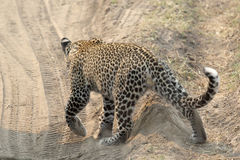 Leopard crossing a road Royalty Free Stock Image