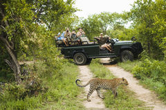 Leopard Crossing Road With Tourists In Background Royalty Free Stock Photography