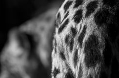 Leopard croup detail Stock Photos