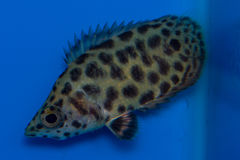 Leopard Ctenopoma Stock Images