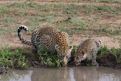 Leopard and cub. Drinking water Royalty Free Stock Images