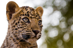 Leopard cub. Looking towards the right with dappled trees in the background Stock Photo