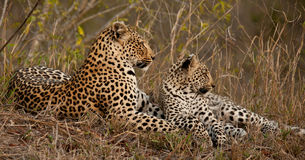Leopard and cub. Female leopard and her cub lying together in the grass Stock Photos