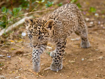 Leopard Cub. Young leopard cub on the prowl Royalty Free Stock Image