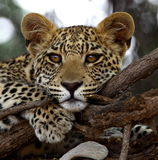 Leopard CUB Lizenzfreie Stockbilder