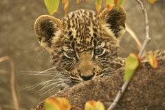 Leopard cub. Peeping from behind a rock Royalty Free Stock Photography