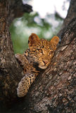 Leopard Cub. Hanging in a tree Stock Photos