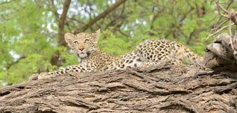 Leopard CUB aufgeworfen auf einem Glied Stockbild