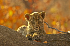 Leopard cub on a branch. A small leopard cub sitting on a branch Royalty Free Stock Images