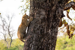Leopard cub climbing down a tree Royalty Free Stock Images