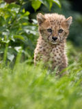 Leopard cub. A Cute young leopard looks out for its mother Royalty Free Stock Images