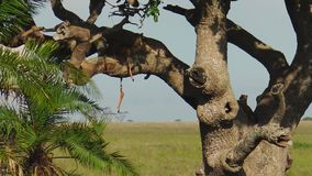 Leopard cub on a tree. Leopard cub feeding in Serengeti National Park, Tanzania, Africa. African Leopard species Panthera Pardus resting in a tree in the natural stock video