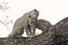 Leopard and cub Stock Photos