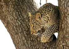 Leopard cub looking down the tree Stock Images