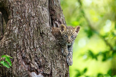 Leopard cub looking out from his tree hole in Masai Mara, Kenya Royalty Free Stock Photography