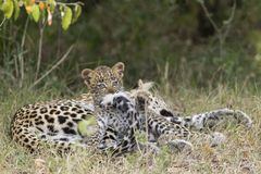 Leopard Cub Playing. With mums tail in the greater mara conservancies, kenya Stock Photos