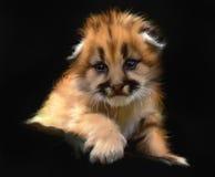 Leopard cub portrait Stock Images
