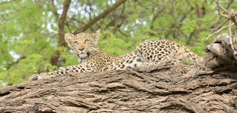 Leopard Cub Posed on A Limb Stock Image
